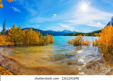 Autumn flood of Abraham lake. Artificial Abraham lake reflects the golden foliage of aspen and birches. Concept of active, ecological and photo tourism