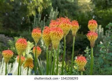 Autumn Flower Heads of Kniphofia 'Torchlight' (Red Hot Poker or Torch Lily) in a Herbaceous Border in a Country Cottage Garden in Rural Devon, England, UK