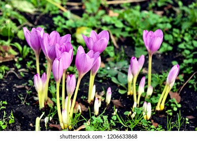 autumn flower with the Latin name Colchicum autumnale