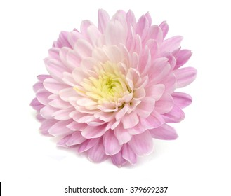 Autumn flower: purple chrysanthemum isolated on white background