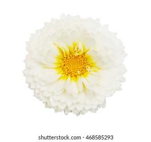 Autumn flower. White chrysanthemum isolated on white background