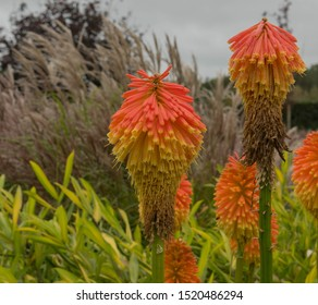 Autumn Flowering Kniphofia rooperi (Red Hot Poker or Torch Lily) in a Herbaceous Border in a Country Cottage Garden in Rural Devon, England, UK