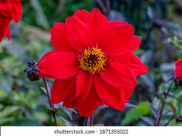 Autumn flowering, single crimson red bloom of Dahlia 'Bishop of Llandaff' with unopened bud, on dark purple stems, growing in herbaceaous border. Green foliage blurred in the background.