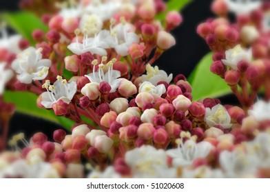 Autumn Flowering Viburnum (Adoxaceae) - Macro