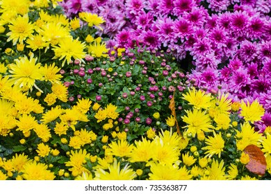 Autumn flowers chrysanthemums background. Bright and colorful carpet of flowers chrysanthemums in the park, Ukraine