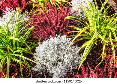 Autumn flowers. Flowerbed with pink heather, grass and plants. Floral background. Grave decoration