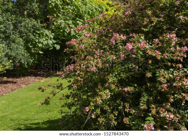 Autumn Flowers Foliage Abelia Chinensis Shrub Stock Photo Edit