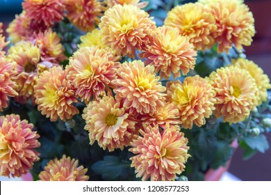 Autumn flowers-blooming yellow garden mums-Chrysanthemum, Background from a bouquet of yellow chrysanthemums.