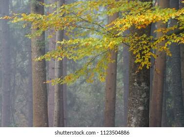 Autumn in foggy beechen forest