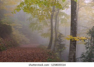 Autumn foggy day in the forest
