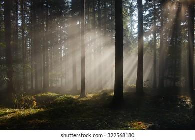 Autumn  foggy forest with misty light