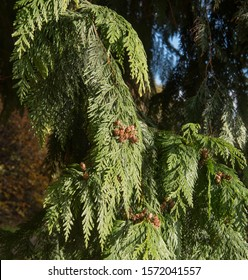 Autumn Foliage and Brown Seed Cones of a Western Redcedar or Red Cedar Tree (Thuja plicata) in a Woodland Garden