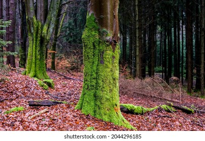 Autumn foliage at the foot of a mossy tree trunk. Mossy tree trunk in autumn forest. Autumn mossy trees. Autumn green moss