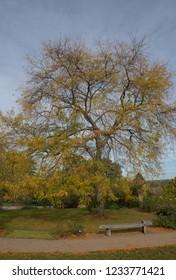 Autumn Foliage of a Golden Honey Locust Tree (Gleditsia triacanthos 'Sunburst') in a Park in Rural Surrey, England, UK