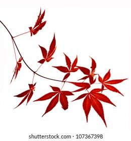 Autumn foliage , Japanese Red maple tree leaves  (Acer palmatum) Isolated on white background