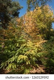 Autumn Foliage of the Katsura Tree (Cercidiphyllum japonicum 'Boyd's Dwarf') in a Woodland Garden in Rural DEvon, England, UK