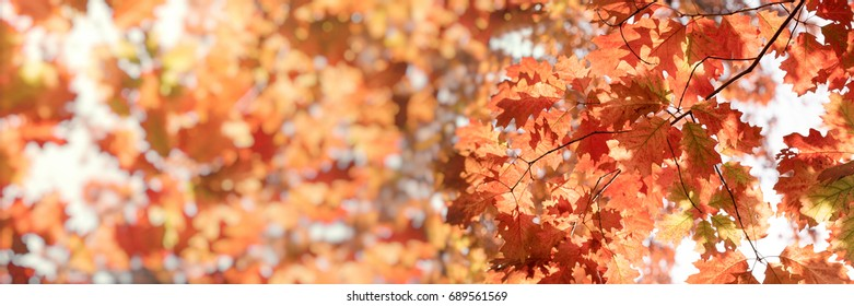 Autumn foliage, leaves on tree lit by sunlight (beautiful nature in autumn)