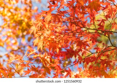 Autumn foliage in a maple tree on a sunny day against the sky at the Golden Pavilion or Kinkaku-ji Zen garden in Kyoto, Japan.