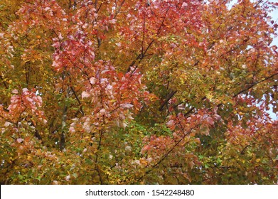 Autumn foliage, red maple, acer rubrum, Cecil County, Maryland.