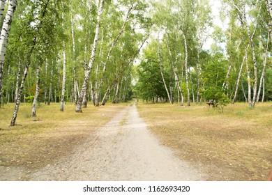 autumn footpath in a birchwood, park zone