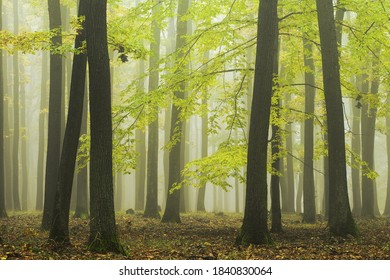 Autumn forest with bright green color of leaves, fog in the background between the tree trunks