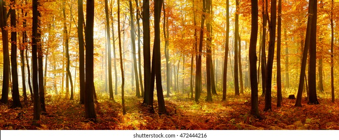 Autumn, Forest of Deciduous Trees Illuminated by Sunbeams through Fog, Leafs Changing Colour