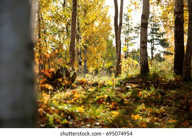 Autumn forest - fallen leaves, bright sun, dried grass. Natural autumn background. Vyborg, Russia.