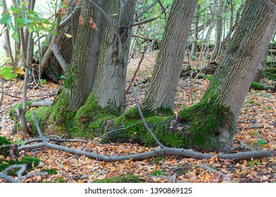 autumn forest, four trees in green moss