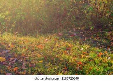 Autumn forest glade. Green grass and bushes bathed in sunlight with beautifully fallen colorful autumn leaves.