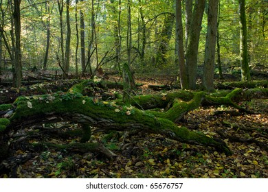 Autumn forest landscape with broken trees strictly nature protection area of Bialowieza National Park