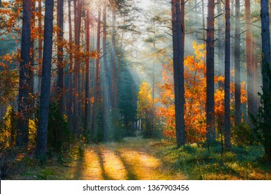 Autumn. Autumn forest. Forest landscape. Fall nature. Sunlight in forest. Sunbeams shining through trees. Path in natural park with fall trees.