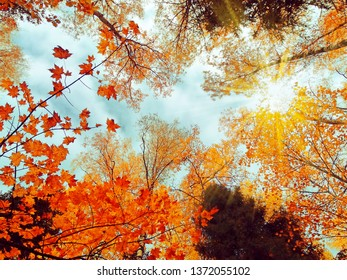 autumn forest landscape on a sunny day with maple leaves background