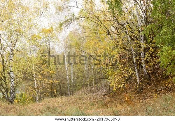autumn-forest-landscape-yellow-birch-600