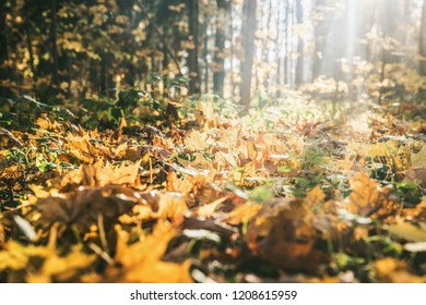 autumn forest landscape yellow leaves lie on the ground, various plants, forest path