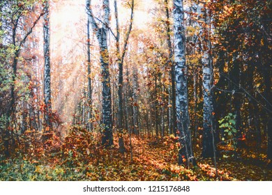 autumn forest landscape, yellow trees, sunny evening rays