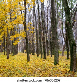 Autumn forest . Late fall. Overcast. A beautiful autumn forest with dark tree trunks and yellow leaves. Late fall. Overcast.