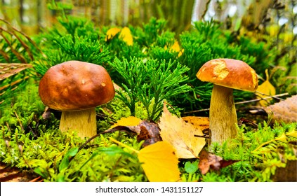 Autumn forest mushrooms scene. Autumn mushrooms view. Autumn forest mushrooms. Mushrooms in autumn forest