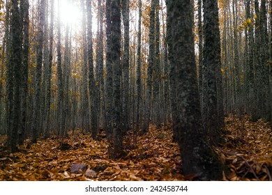 Autumn forest with orange leaves on the floor, horizontal composition