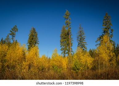 autumn forest overgrown with young birches with sparse tall conifers at the background