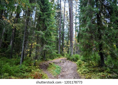 Autumn forest path landscape. Grove of larch trees path view. Karelia larch forest path scene. Deep forest path grove of larch trees
