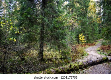 Autumn forest path scene. Autumn grove of larch trees landscape. Autumn forest path in Karelia grove. Forest path in autumn larch grove