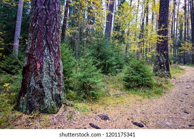 Autumn forest road scene. Autumn forest grove of larch trees view. Forest path in autumn grove of larch trees in Karelia