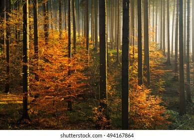 Autumn, Forest of Spruce Trees Illuminated by Sunbeams through Fog, Leafs Changing Colour