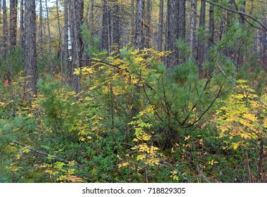 Autumn forest of the taiga.