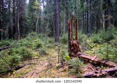 Autumn forest thicket in larch grove landscape. Forest grove of larch trees background. Deep forest thicket scene. Karelia forest thicket view