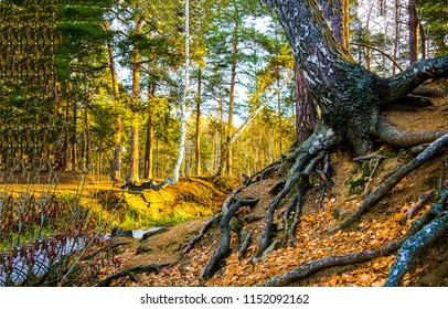 Autumn forest tree roots landscape. Tree roots in autumn forest scene. Autumn forest tree roots view