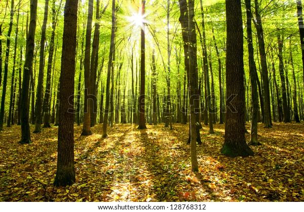 осенние лесные деревья. природа зеленый древесины солнечный фон.