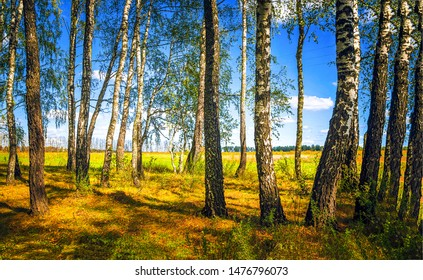Autumn forest trees sunlight background. Birch trees in autumn season. Autumn birch trees view. Autumn birch tree forest background
