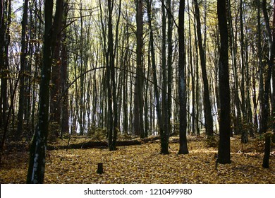 In the autumn the forest in which the hornbeam prevails becomes light and bright.