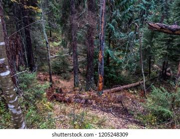 Autumn forest wilderness scene. Larch tree wilderness forest background. Autumn wilderness forest trees view. Karelia wilderness forest trees top view landscape